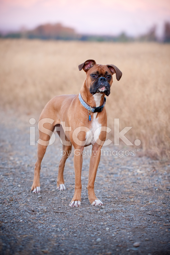 Perro Boxer Fotografías De Stock Freeimagescom
