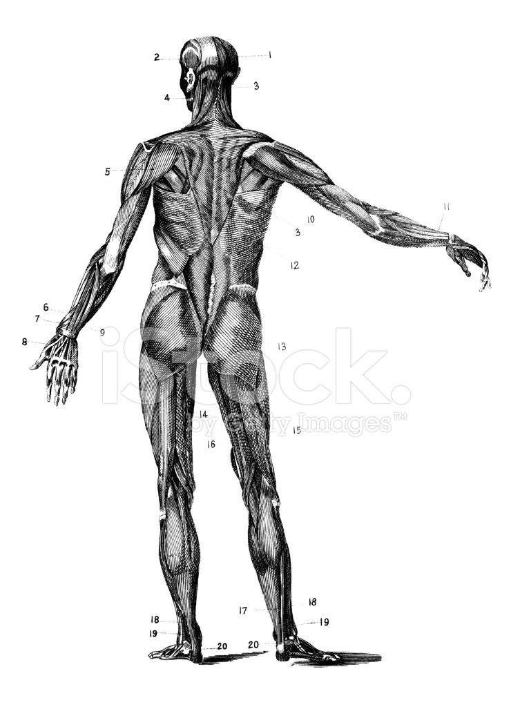 Siglo Xix Grabado Anatómico DE Los Músculos Del Cuerpo Humano Stock ...