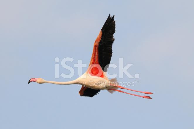 Aninimal Book: Greater Flamingo stock photos - FreeImages.com