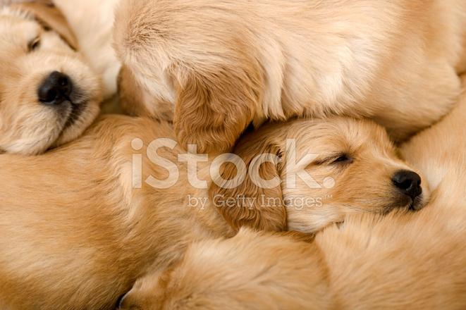Really Cute Golden Retriever Puppies Sleeping