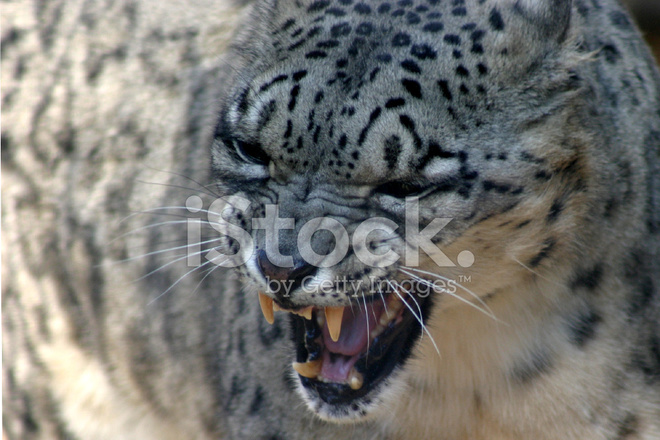 Angry Snow Leopard Stock Photos - FreeImages com