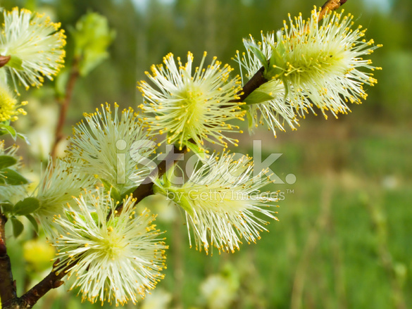 Pussy Willow Photos 117