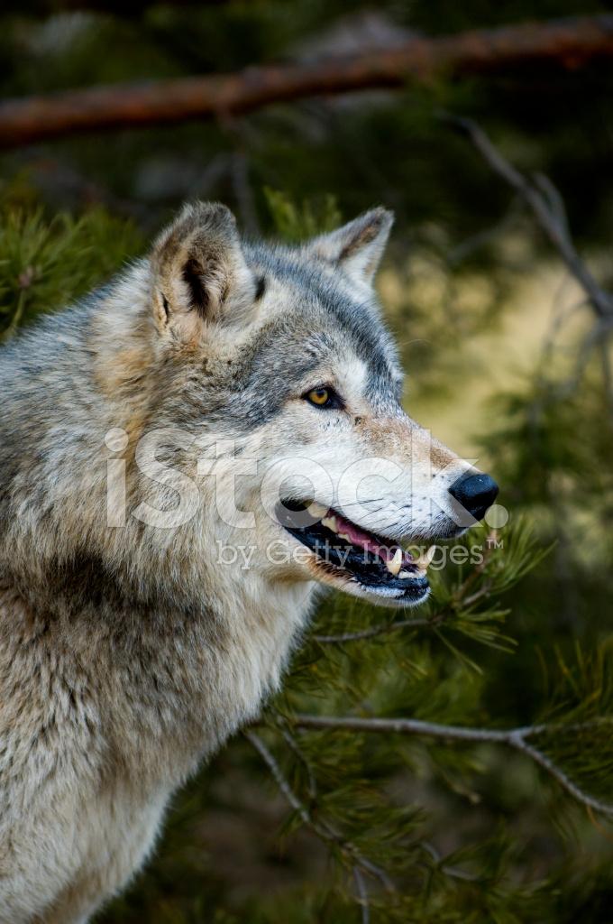 Legname lupo canis lupus profilo albero sfondo fotografie stock