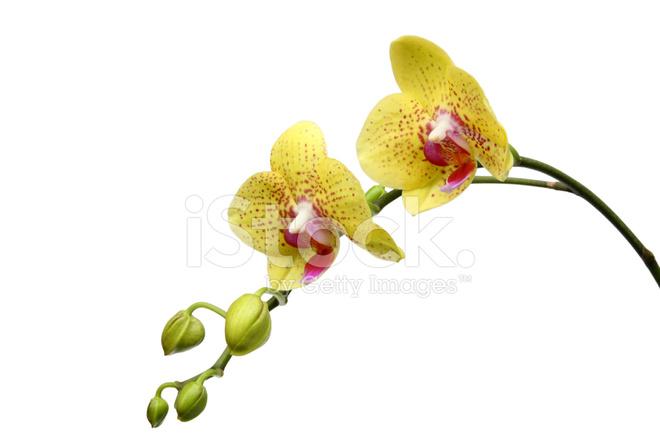 Yellow Butterfly Orchid yellow butterfly orchid stock photos ... Yellow Butterfly Orchid