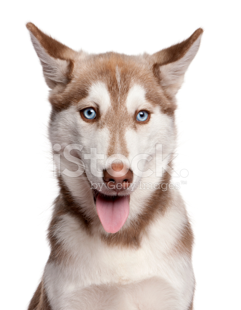 Close Up Of Siberian Husky Puppy White Stock Photos Freeimages Com