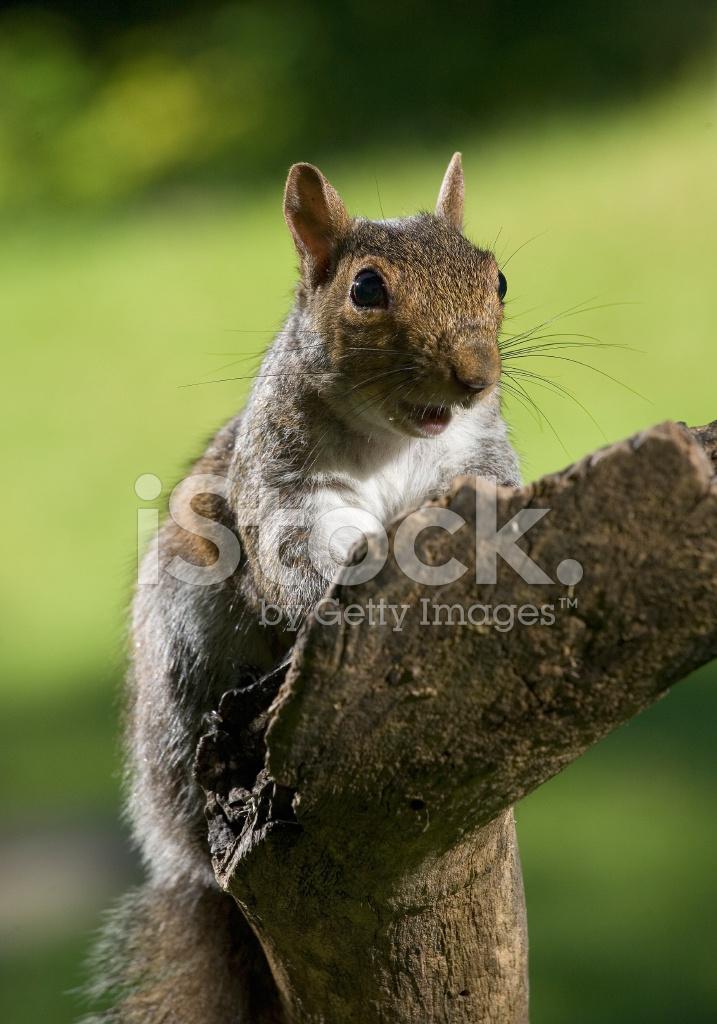 Yelling Squirrel Stock Photos - FreeImages com