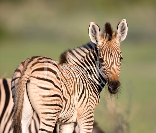 Young Zebra Stock Photos - FreeImages.com