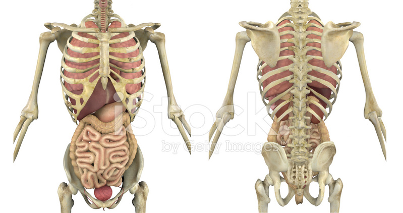 Torso Skeleton With Internal Organs Front and Back Stock Photos ...