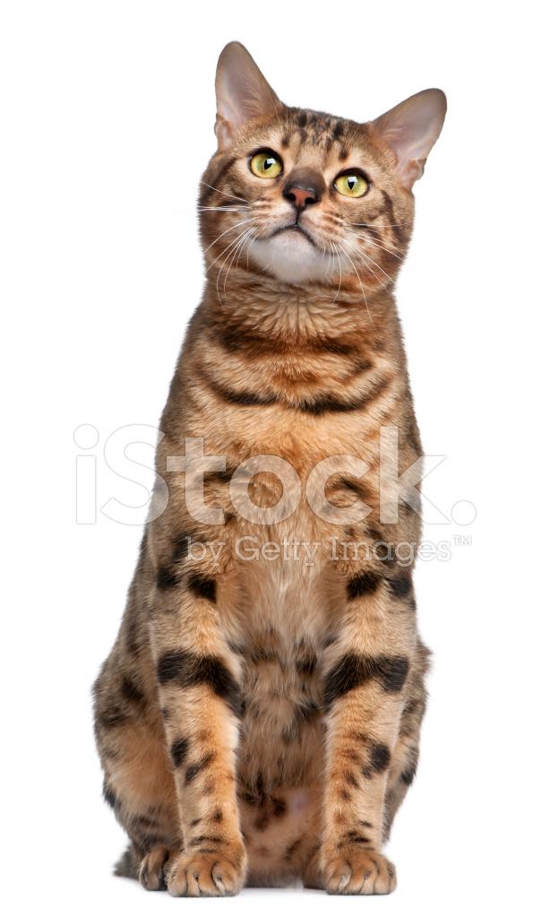 Kot Bengalski Siedzi Białe Tło Widok Z Zdjęcia Ze Zbiorów