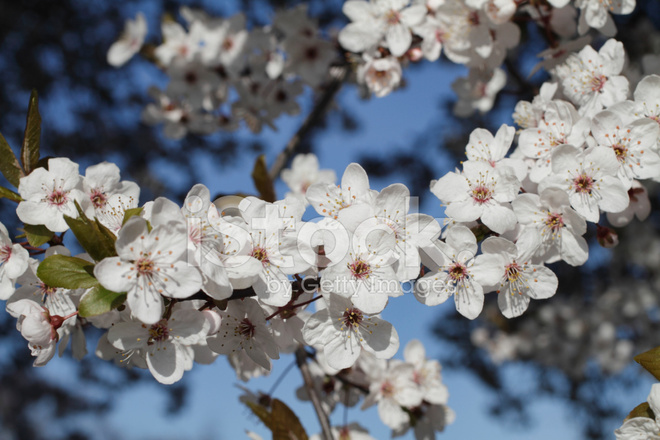 White Myrobalan Plum Blossom Spring Blue Sky Stock Photos