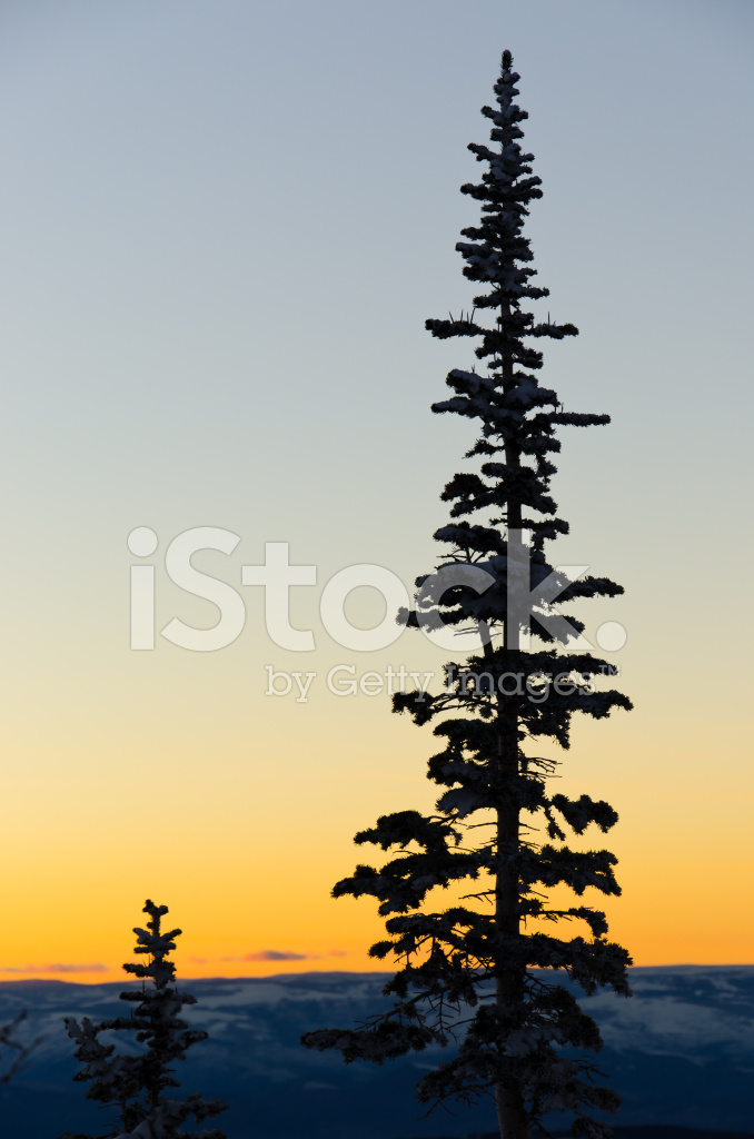 tall pine tree silhouette in the mountains during winter