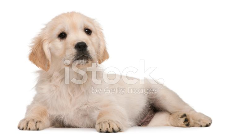 Golden Retriever Yavrusu Yirmi Hafta Yaşlı Yalan Beyaz Adam Stok