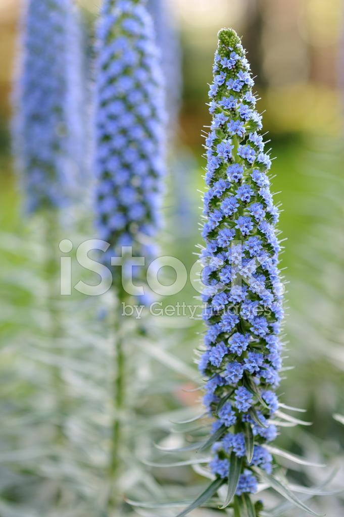 синяк растение