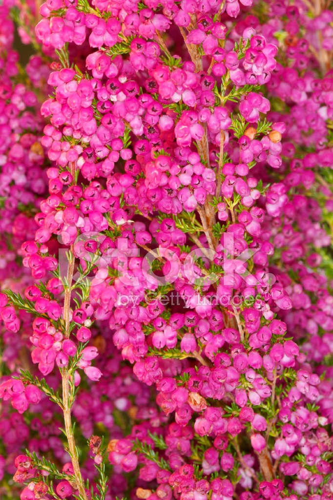 Heather flowers budding in spring stock photos freeimages heather flowers budding in spring mightylinksfo