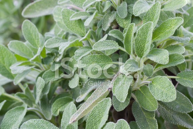 Salvia In Un Giardino Di Erbe Aromatiche Fotografie Stock