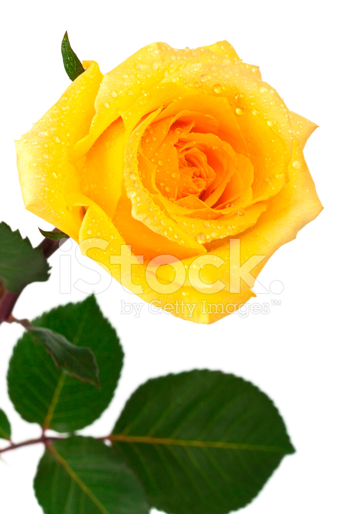 Single yellow rose stock photos freeimages premium stock photo of single yellow rose mightylinksfo
