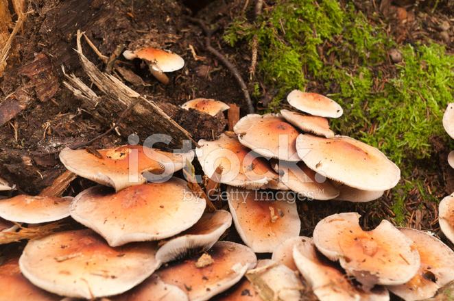 Many Flat Round Mushrooms Stock Photos Freeimages Com