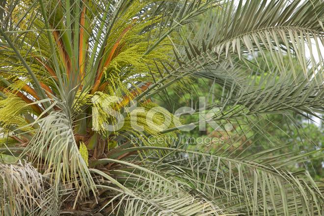 Dubai Emirats Arabes Unis Palmier Dattier En Fleurs Photos