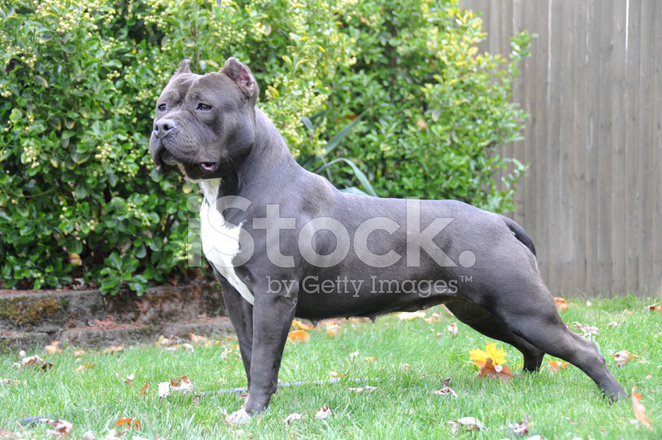 China Wholesale 17056378525 further Matterhorn Standing Tall In The Switzerland Skies as well Double Sundog further Purebred Female Canine American Bully Dog 726489 together with F034 15 Adidog Fashion Pet Cat Dog Sportswear Clothes Grey Size M 184232. on tracking dog