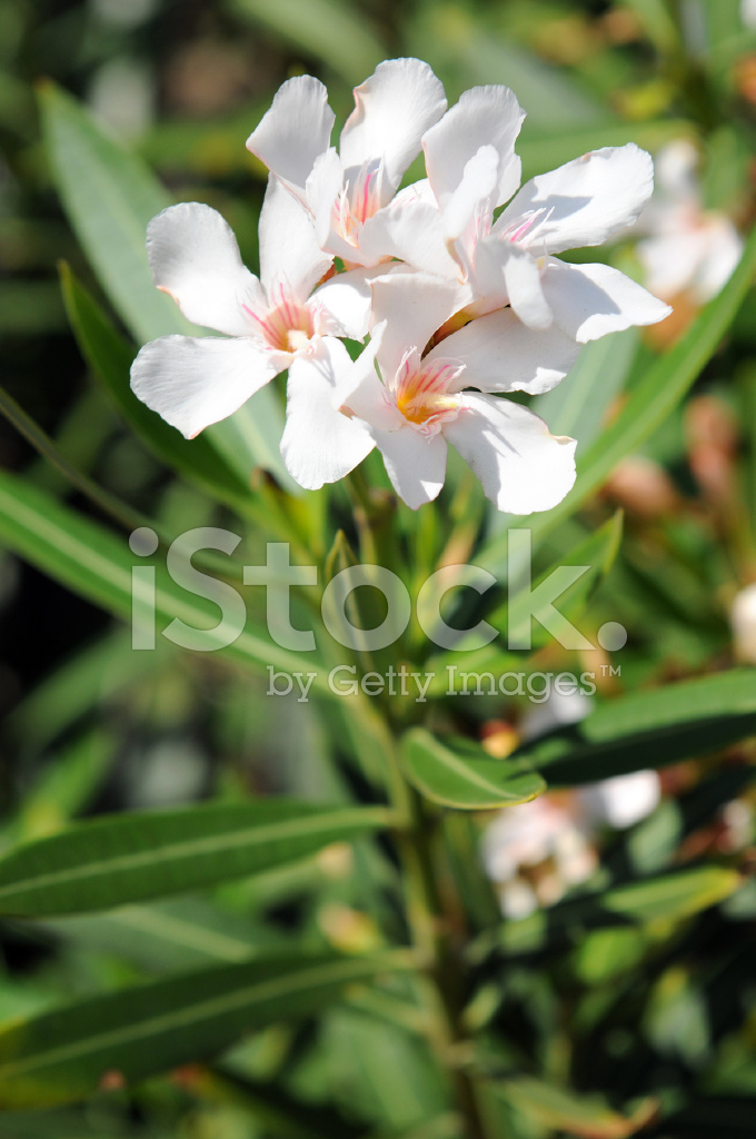 white olender essay Free essay: white oleander is an exciting novel written by janet fitch it is a novel that describes the life of astrid, a teen girl that had to experience.
