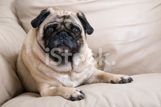 pug laying down cute pug laying down stock photos freeimages com 1119