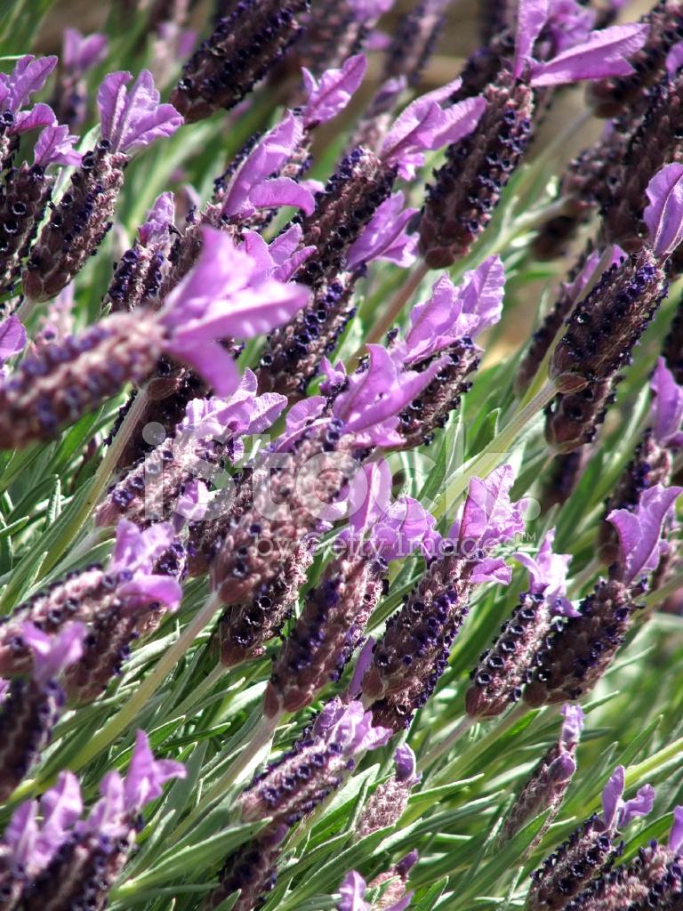 Flores Lavanda Fotos Do Acervo Freeimages Com