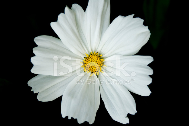 Weiße Cosmos Blume MIT Schwarzem Hintergrund Stockfotos - FreeImages.com