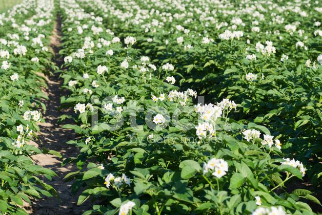 Potato Field IN Flower Stock Photos - FreeImages.com