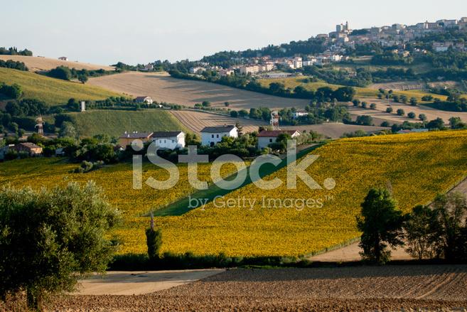 Paesaggio Marchigiano Con I Girasoli Fotografie stock ...