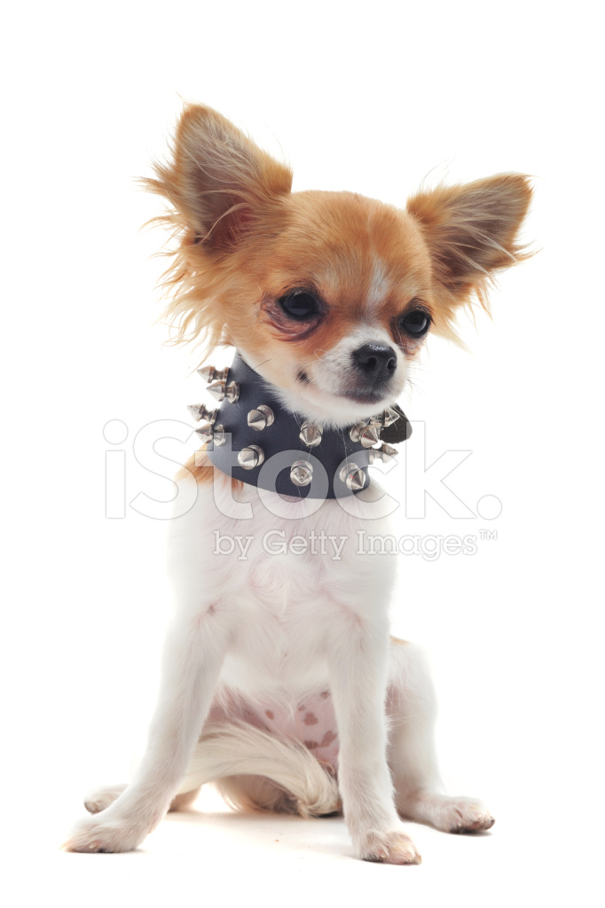 chihuahua asian personals Browse chihuahua dog pictures, photos, images, gifs, and videos on photobucket.