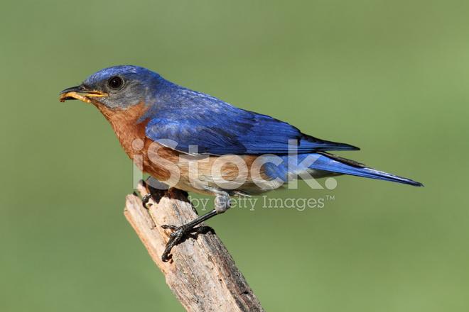 premium stock photo of eastern bluebird
