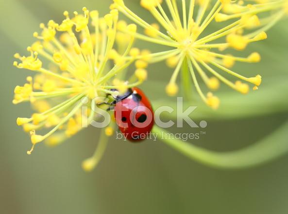 Marienkäfer Auf Blume Stockfotos Freeimagescom