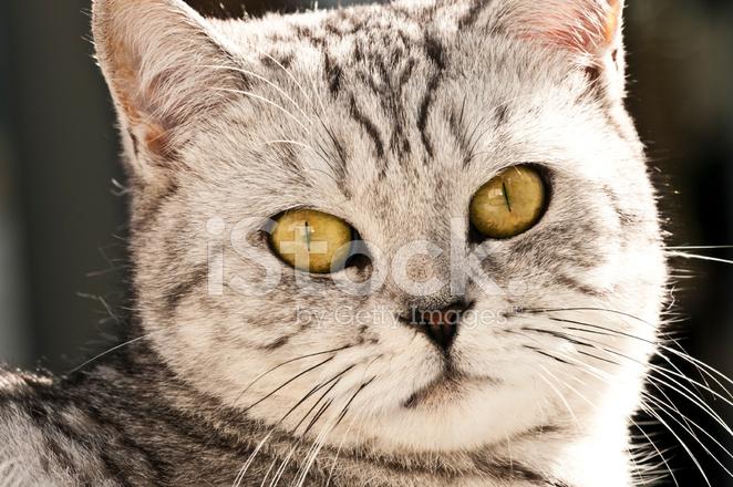 Britische Kurze Haare Katze In Der Sonne Liegen Stockfotos
