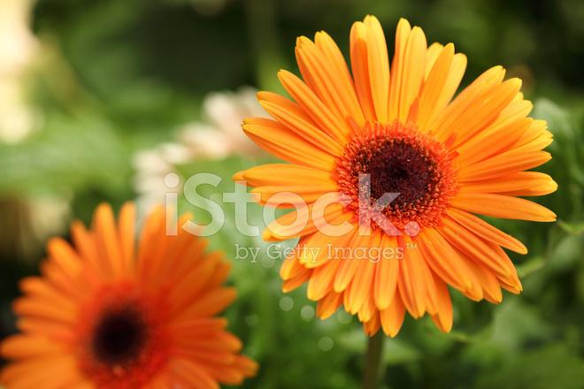 Оранжевые цветы как ромашки
