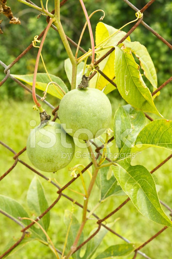 Wild Passion Fruit Vine Stock Photos Freeimages Com