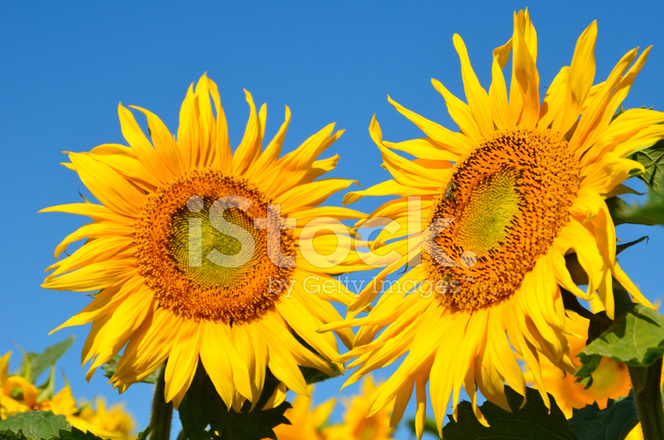 Two Sunflowers Stock Photos - FreeImages.com