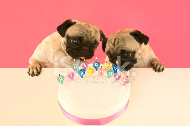 Mops Hunde Ausblasen Der Kerzen Auf Der Geburtstagstorte Stockfotos