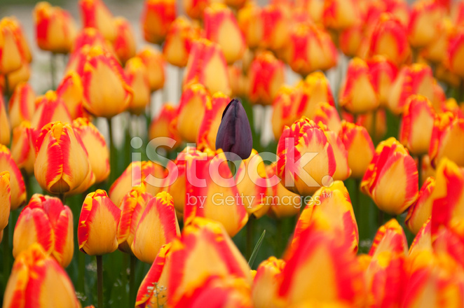 Image result for lila and yellow tulips