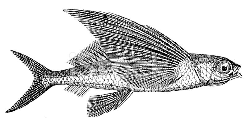 Exocoetidae | Definition of Exocoetidae by Merriam-Webster