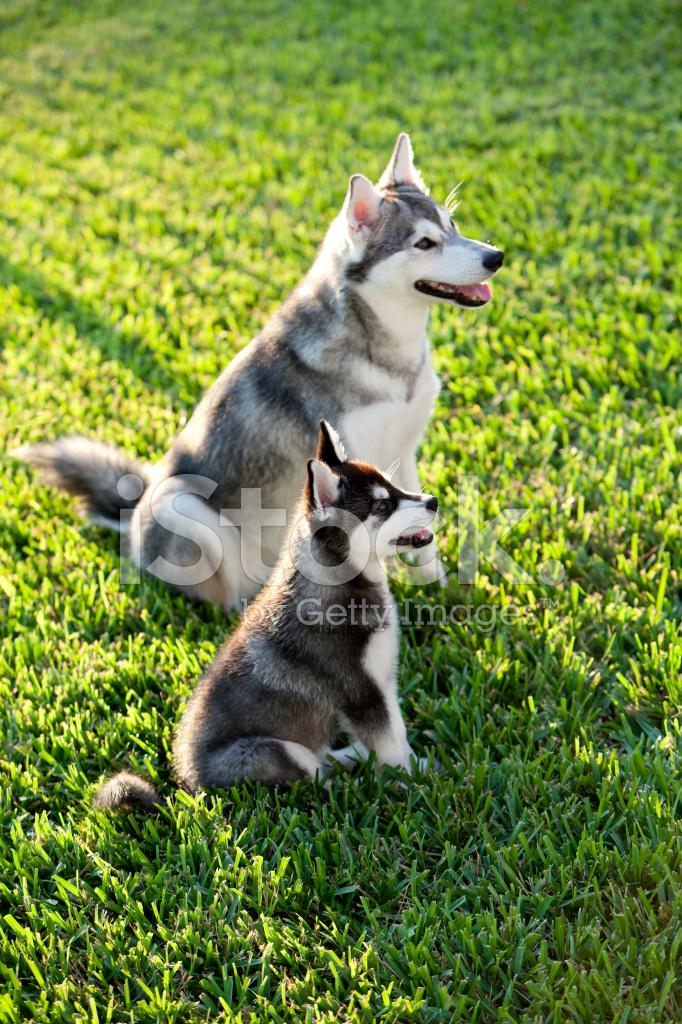 Alaskan Klee Kai Dog And Puppy Stock Photos Freeimages Com