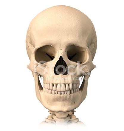 Menschlicher Schädel, Stockfotos - FreeImages.com