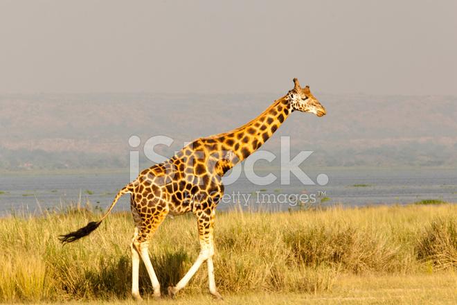 Amigurumi Pattern Alfa Giraffe  Tarturumies