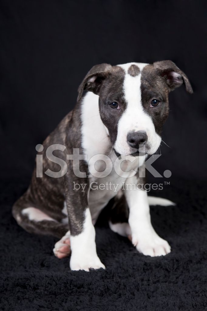 Staffordshire Terrier Puppy Stock Photos - FreeImages com