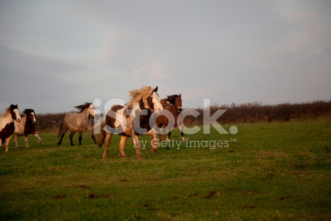 Paint Horse Galloping Stock Photos - FreeImages.com