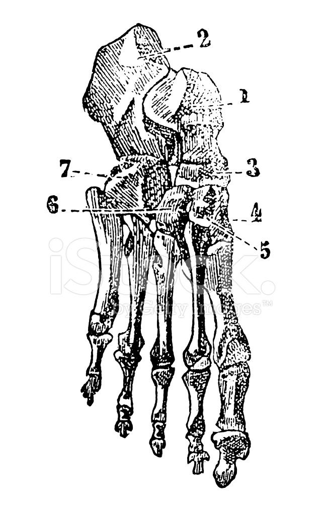 手绘骨骼结构图
