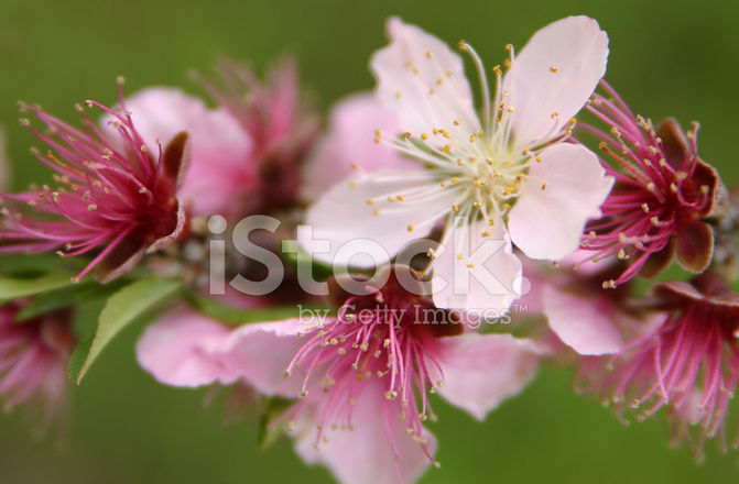 Georgia Peach Blossom Stock Photos - FreeImages com