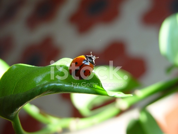 Ladybug With Two Black Spots on Leaf Stock Photos - FreeImages com