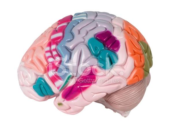 Modell Des Menschlichen Gehirns Stockfotos - FreeImages.com