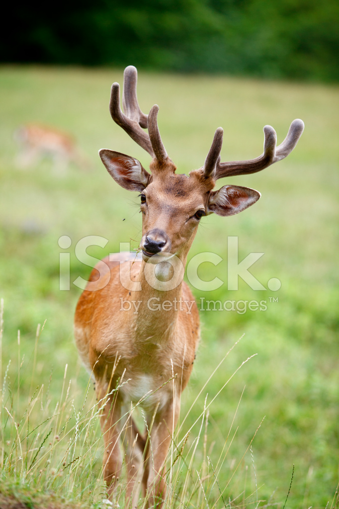 raindeer stock photos
