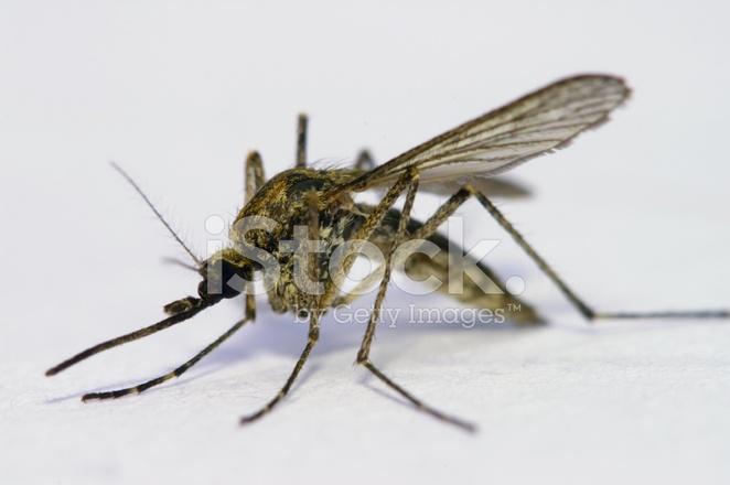 premium stock photo of mosquito